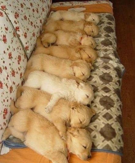 ach.... :): Golden Puppies, Cute Puppies, Dogs, Pet, Puppys, Adorable, Sleep Puppies, Animal, Golden Retriever Puppies