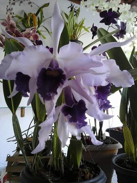 Beautiful lavender #orchids. 1450336_735209513289989_5807822393139403467_n.jpg (480×640)    http://dennisharper.lnf.com/