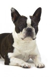 Boston Terrier Temperament – Friendly, Energetic, Family Dog