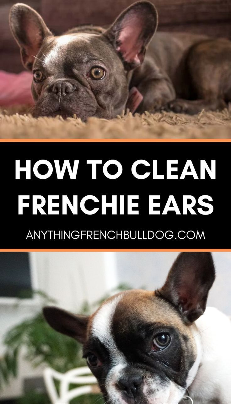 French Bulldog Ownership Basics How To Clean Frenchie Ears In