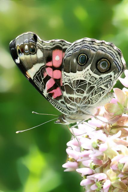 ~~Vanessa virginiensis - American Lady Butterfly by c.buelow~~ | See more about butterflies.