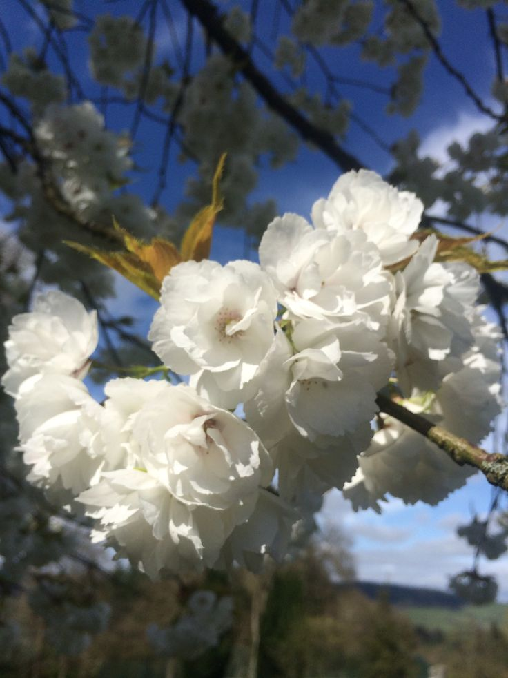 Stunning white cherry blossoms on our Front Lawn
