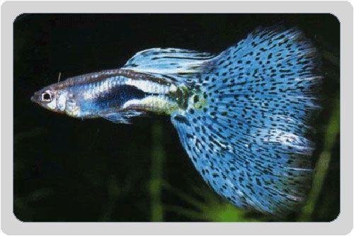 Beautiful specimen of Blue Glass Guppy Fish (poecilia reticulata)