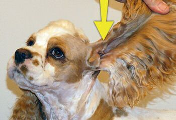 Receta para desinfectar orejas de perro / Recipe for dog's ears infections