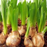 Growing Zone 8 Bulbs – When To Plant Bulbs In Zone 8 Bulbs are a great addition to any garden. Plant them in the fall and forget about them. In the spring, you'll feel as though you didn't even have to do any work. Learn more about what bulbs grow in zone 8 gardens so you can choose the best type for your area.  Growing Zone 8 Bulbs – When To Plant Bulbs In Zone 8 Bulbs are a great addition to any garden. Plant them in the fall and forget about them. In the spring, you'll feel as though you…