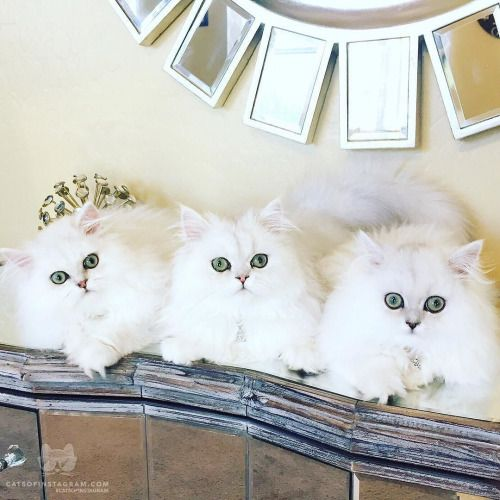 From @pearlypersians: Fur babies are the best decor you can have on your dresser! #catsofinstagram [source: http://ift.tt/1I3yJWC ]