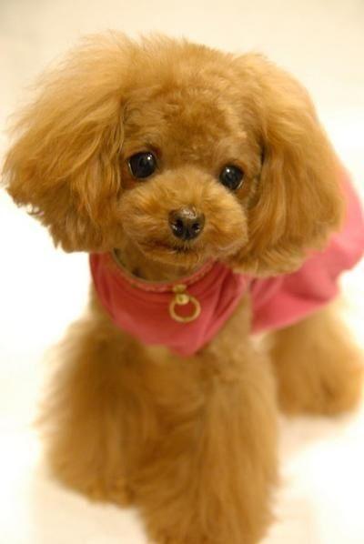 Poodle cut -looks like a stuffed animal.