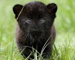puma negro animal bebé - Buscar con Google