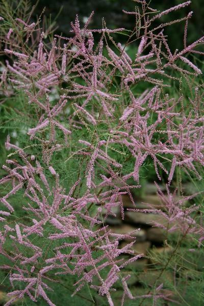 Tamarix ramosissima 'Pink Cascade'|Juniper Level Botanic Gdn, NC|