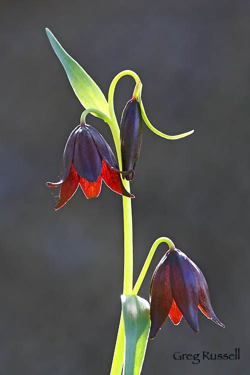 Chocolate lilies, Santa Rosa Plateau Ecological Reserve, 2009