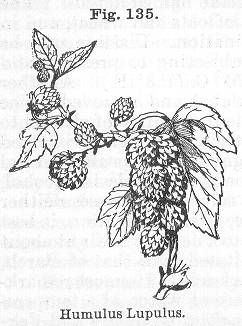 Immagine di http://www.henriettes-herb.com/files/images/old/kings/kings-humulus.jpg.