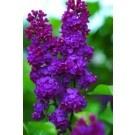 Lilac - Ludwig Spaeth