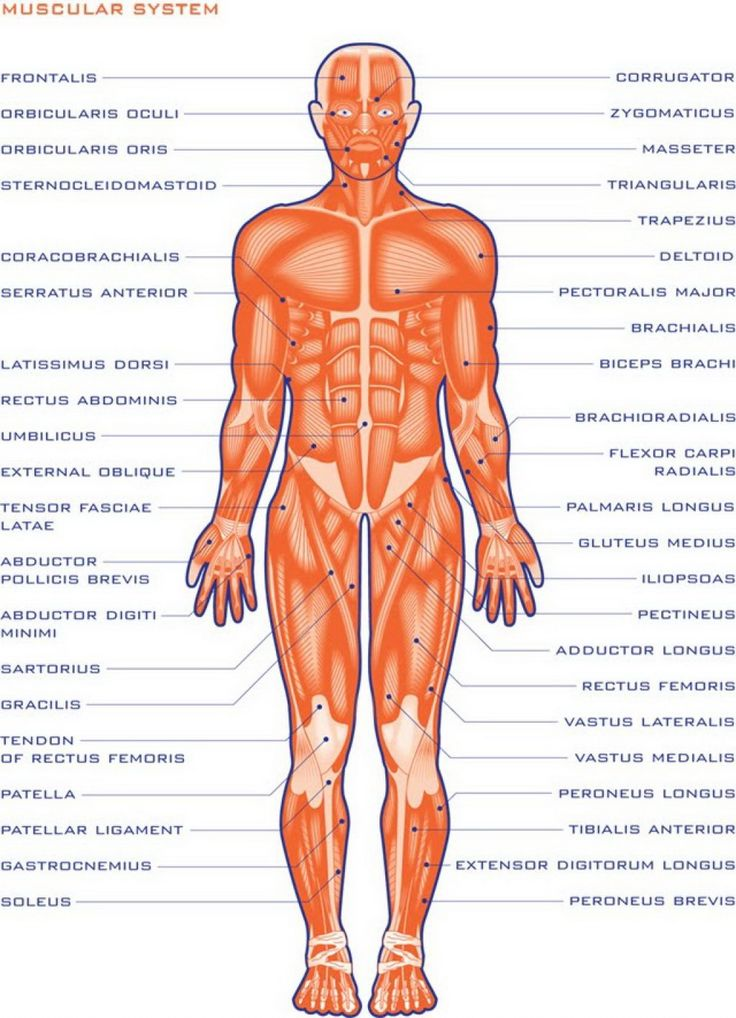 80 best images about ~human anatomy on pinterest | muscle and, Muscles