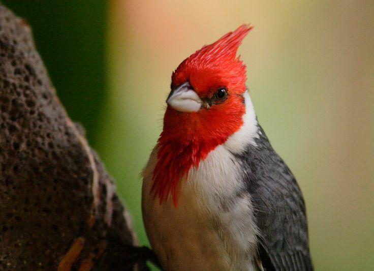 Argentine, Idées, Rouge, Beaux Oiseaux, Parc, Hawaii Hawaii, Argentina, Html, Park