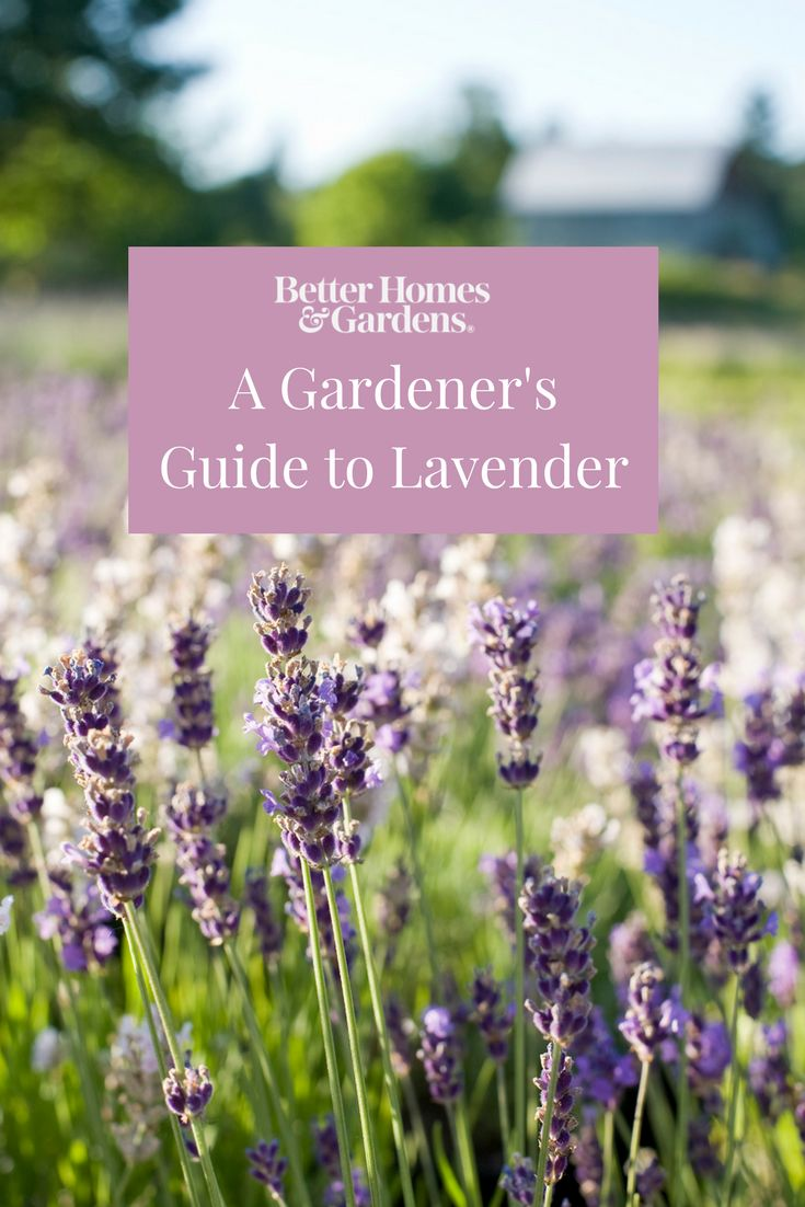 A Gardeneru0027s Guide to Lavender 3844 best