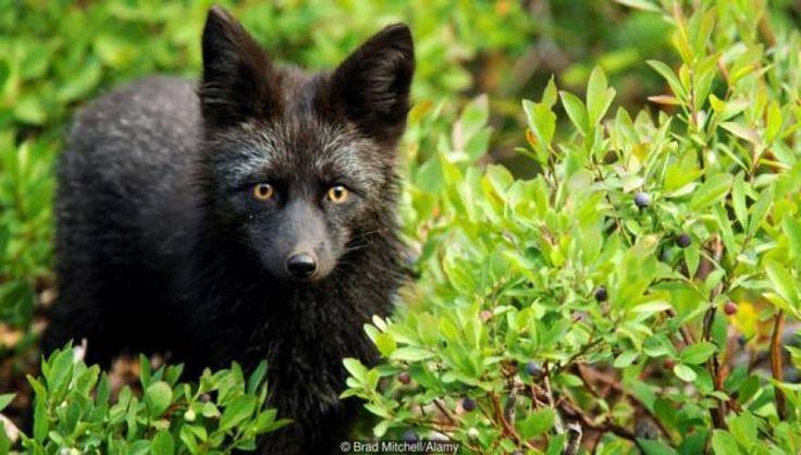 Η αλεπού-σκύλος που ξεκίνησαν να αναπτύσσουν Ρώσοι γενετιστές τη δεκαετία του ΄50 | ProNews.gr