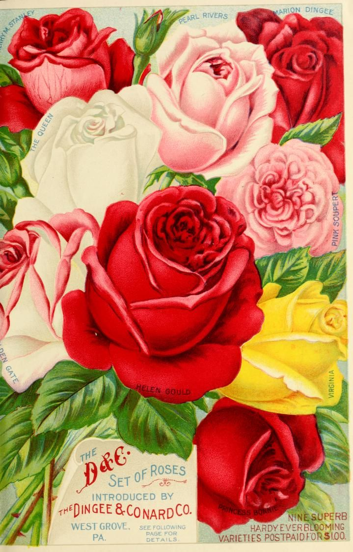 The Dingee & Conard Co - Our new guide to rose culture : autumn 1906