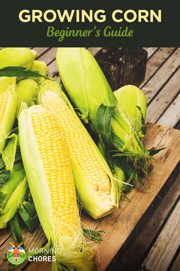 Beginners Guide to Growing Corn