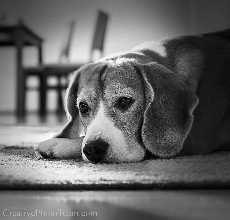 Portrait beagle dog in cozy home https://flic.kr/p/CPX7i3   Portrait beagle dog in cozy home  http://www.creativephototeam.com/