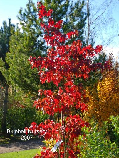 Liquidambar styraciflua 'Festival' - (Sweet Gum) - Sensational tree. The leaves are a bright green in spring and summer before turning a rich, burgundy-red in autumn.    Not only is the autumn colour excellent, it also lasts for a long time, often from mid September well into November.