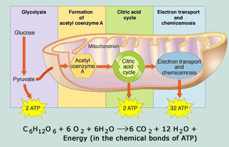 Glycolysis, Acetyl Co-Enzyme A Formation, Citric Acid Cycle, & Oxid. Phosphorylation.....For my fellow Biochem majors ;-)