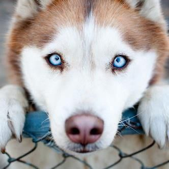 This is the exact type of dog I want! Red huskies are so beautiful