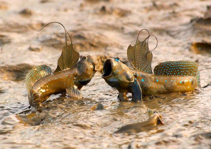 Mudskipper fish takes a gulp of water to swallow food on land ...