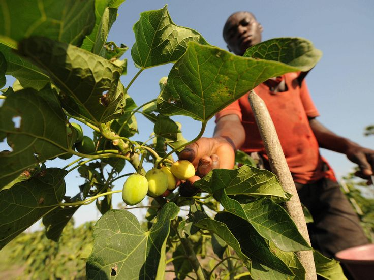 How A Biofuel Dream Called Jatropha Came Crashing Down : NPR