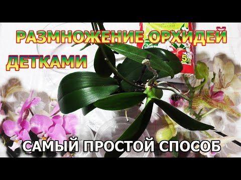 РАЗМНОЖЕНИЕ ОРХИДЕЙ / ПРОСТОЙ СПОСОБ - YouTube