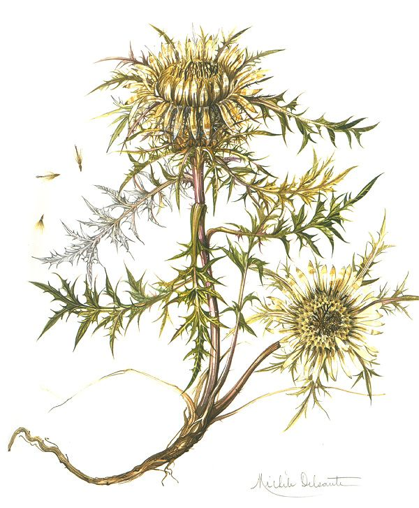 Несколько сканов из книжки Herbier de France. Акварели Michele Delsaute Книга большая и толстая, как старый гербарий... в ней больше 200 страниц