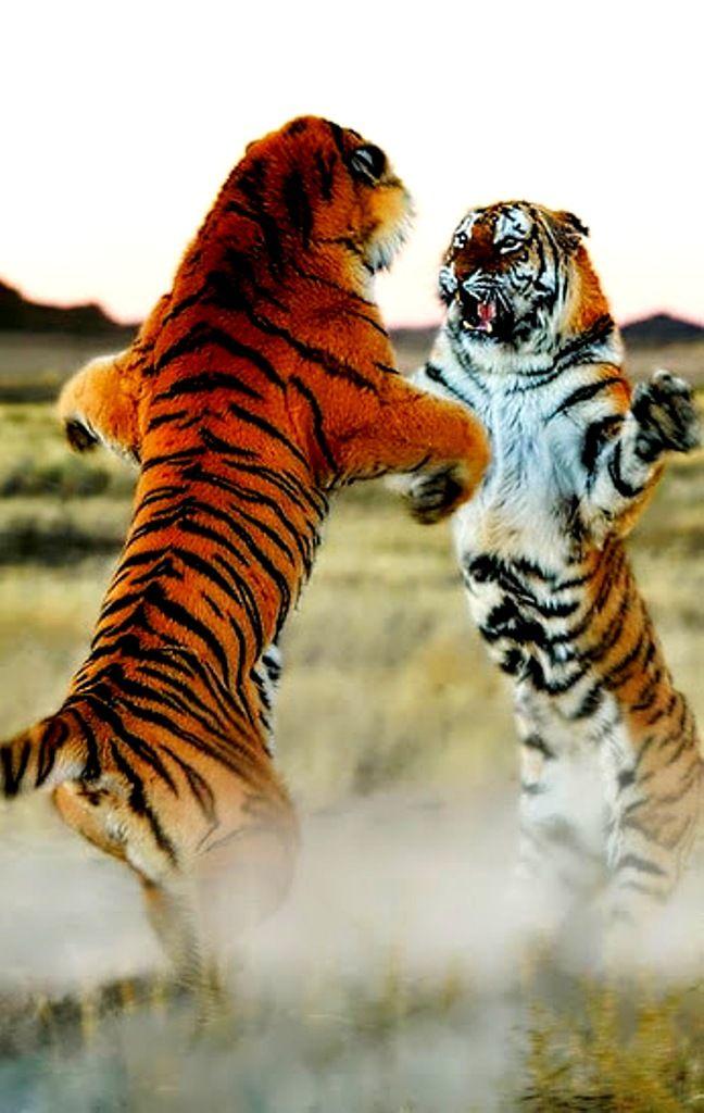 tiger combat