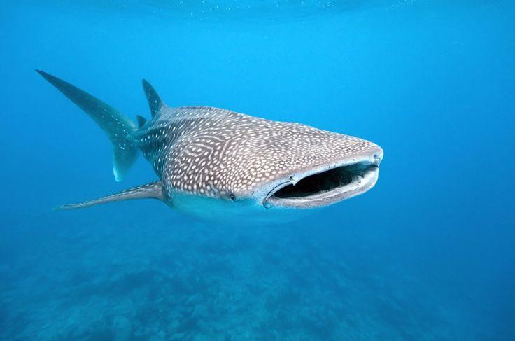 O tubarão-baleia (Rhincodon typus) é o maior peixe do mundo. Pode chegar a 14 metros de comprimento e 20 toneladas. Aparentemente a população da espécie começou a diminuir devido à pesca de arpão realizada no Sudeste Asiático e, talvez, por capturas acidentais em pesca com redes. Recentemente o interesse por mergulhos com tubarões-baleia selvagens está crescendo e é uma alternativa para a conservação da espécie. Status na IUCN (União Internacional para a Conservação da Natureza.