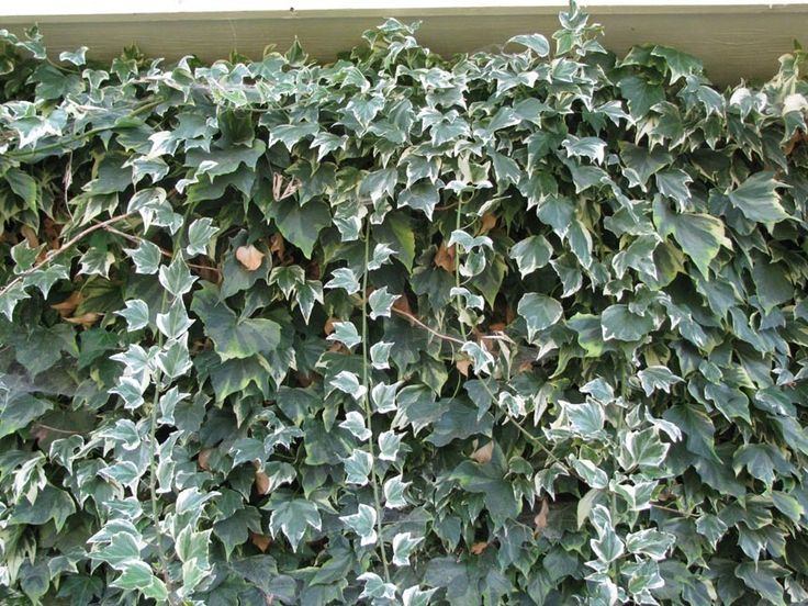 Glacier Ivy Size Picture Of English Common