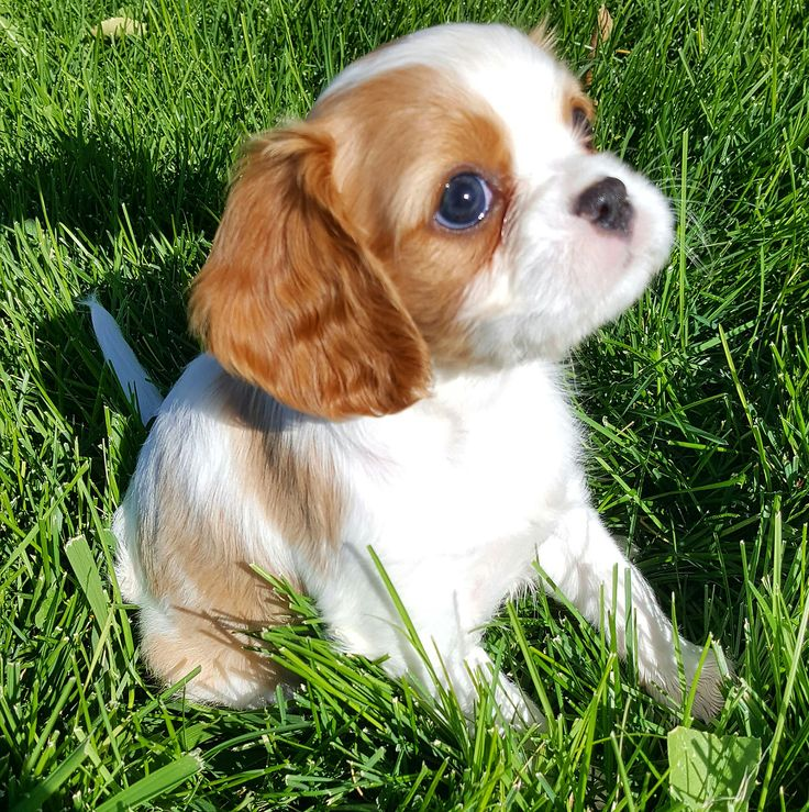 AKC Champion Pedigree Cavalier King Charles Spaniel puppies for sale from Happy Cavaliers in Nampa, Idaho
