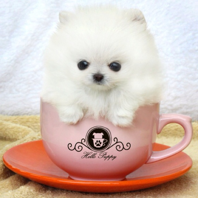 1000+ images about Teacup pom on Pinterest | Toy ...