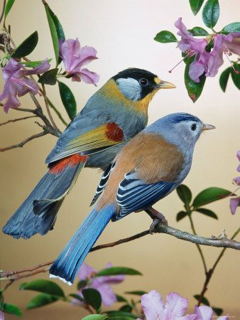 Silver-Eared Mesias (Leiothrix Argentauris), lavender-colored blossoms. See www.masters-table.org for more of God's living art
