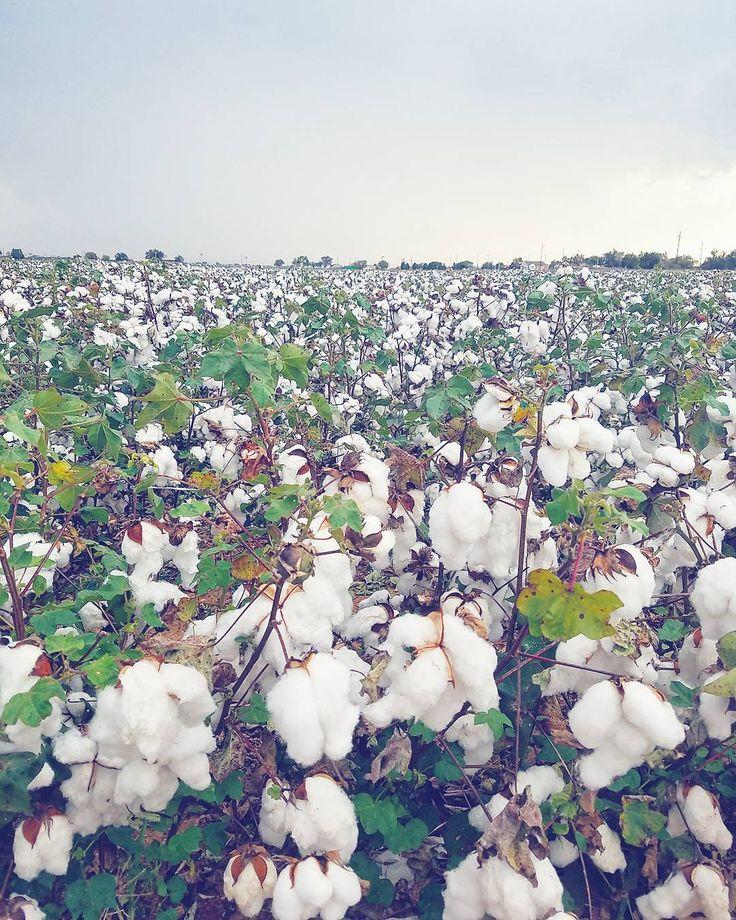 """Fields of cotton ready for picking! Olen viettänyt viimeiset pari päivää Länsi-Teksasissa - yhden yön aiottua pidempään kiitos hajonneen lentokoneen - ja positiivisesti yllättynyt. Paikalliset ovat vieraanvaraisia ja kohteliaisuudet (""""how are you ma'am?"""") tunnutaan sanovan täydellä sydämellä. Kaikkialle levittyvät puuvillapellot kruunaavat fiiliksen.  #LiveLoveLubbock #Texas #visittexas #cotton #puuvilla #pelto #yhdysvallat #maisema #travel #matkalla #reissu #mondolöytö #ig_travel (via…"""