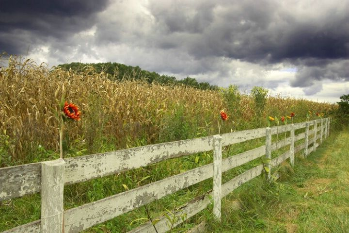 country fields, fence, flower