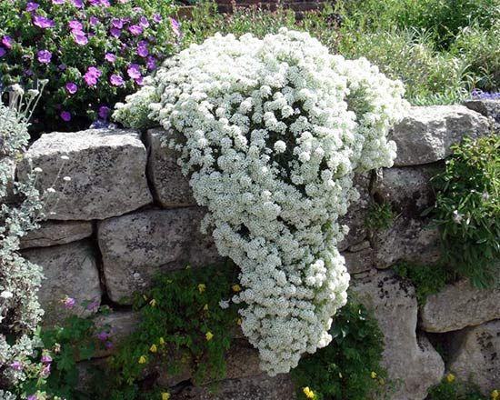 Алиссум (лобулярия) прекрасно растет на камнях