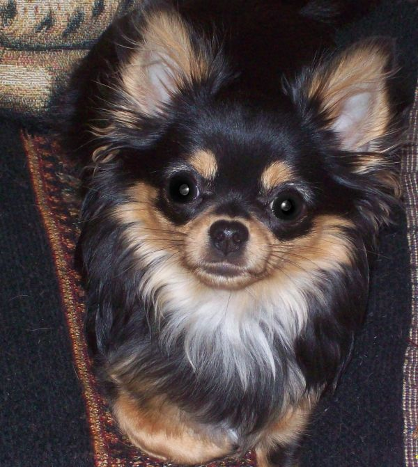 My little long hair Chihuahua Bonita loves to pose