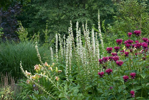 "Verbascum chaixii ""Album"" and Monarda ""Fireball'"