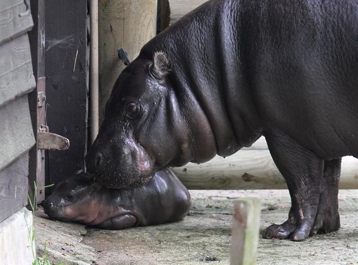 Fotógrafo flagra primeira aparição pública de filhote de hipopótamo recém-nascido no zoológico de Cracóvia, na Polônia - http://revistaepoca.globo.com//Sociedade/fotos/2013/05/fotos-do-dia-9-de-maio-de-2013.html (Foto: EFE/Jacek Bednarczyk)