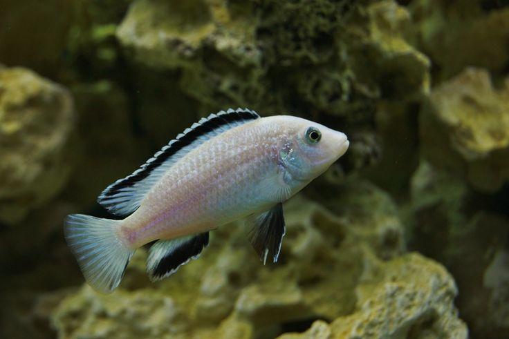 "Labidochromis caeruleus ""Nkhata Bay"" | Malawi Cichlids ...  Labidochromis c..."