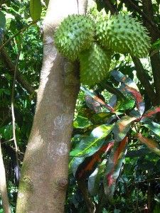 Shown are three Graviola fruits hanging from the tree. Click here to find out more about an organic Graviola herbal supplement.