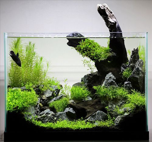 Great Betta Tank