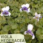 Australian Native Violet - Plant of the Week - Don chose a classic groundcover as this week's Plant of the Week.