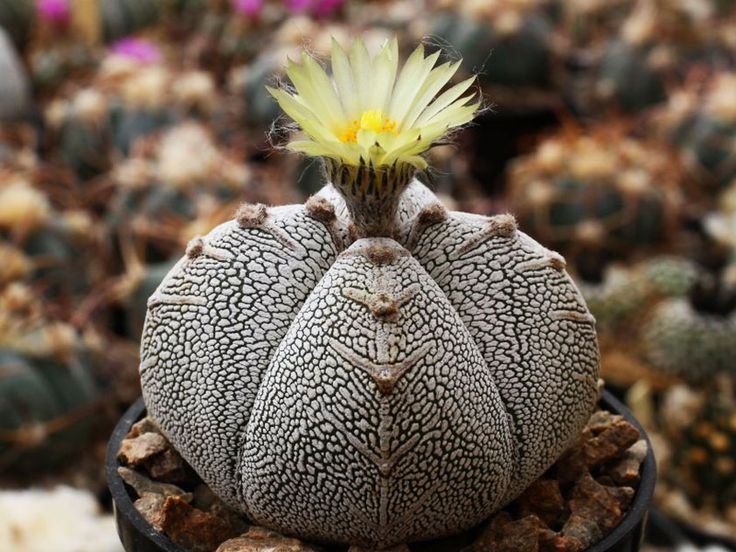 Астрофитум крапчатый - Astrophytum myriostigma, астрофитум фото