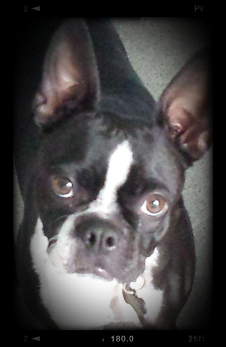 Maggie Boston Terrier | Pawshake