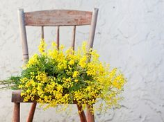 Home decor with yellow mimosa flowers. Women's day flowers.