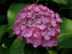 紫陽花(アジサイ)の花の育て方・剪定など